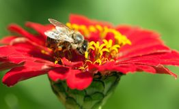 Bee or honeybee in Latin Apis Mellifera. Detail of bee or honeybee in Latin Apis Mellifera, european or western honey bee pollinated red and yellow flower Royalty Free Stock Photos