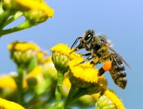 Bee or honeybee in Latin Apis Mellifera. Detail of bee or honeybee in Latin Apis Mellifera, european or western honey bee pollinated of yellow flower  on blue Stock Image