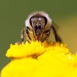 Bee or honeybee in Latin Apis Mellifera Royalty Free Stock Photography