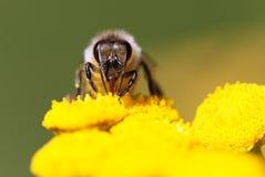 Bee or honeybee in Latin Apis Mellifera Royalty Free Stock Photos