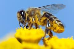 Bee or honeybee in Latin Apis Mellifera Stock Images