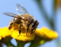Bee or honeybee in Latin Apis Mellifera Stock Image