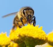 Bee or honeybee in Latin Apis Mellifera Royalty Free Stock Photo