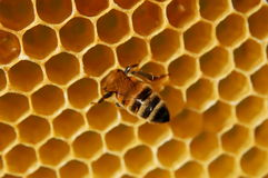Bee on honeycomb Stock Photos