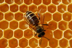 Bee on honeycomb Royalty Free Stock Photo