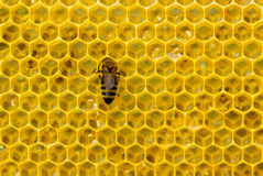 Bee on honeycomb Stock Image