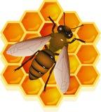 Bee with honeycomb Stock Photo