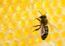 Bee in honeycomb stock images