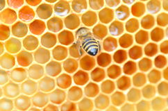 Bee on honeycomb Stock Images