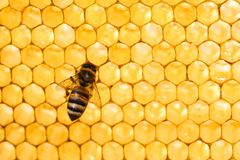 Bee in honeycomb. Closeup of bees on honeycomb in apiary stock images