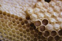 Bee and honeycomb closup and macro shot. In the morning Stock Photography