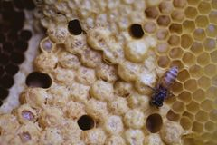 Bee and honeycomb closup and macro shot. In the morning Stock Image