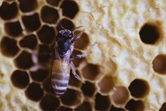 Bee and honeycomb closup and macro shot. In the morning Royalty Free Stock Image