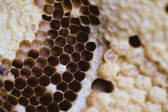 Bee and honeycomb closup and macro shot. In the morning Royalty Free Stock Photos