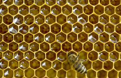 Bee honeycombs Stock Photography