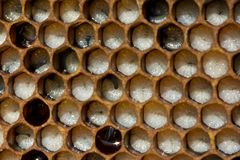 Bee Honeycombs Are Developing Larvae Of Insects. Larvae Of Bees Stock Photo