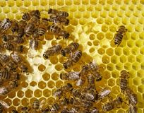 Bee on honeycombs from grey. Stock Images