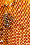 Bee honeycombs with honey Stock Images