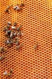 Bee honeycombs Stock Image
