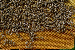 Bee honeycombs with honey and bees. Apiculture. Royalty Free Stock Image