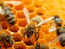 Bee on honeycombs with honey slices nectar into cells.  royalty free stock photo