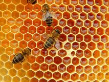 Bee on honeycombs with honey slices nectar into cells.  royalty free stock photography
