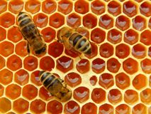 Bee on honeycombs with honey slices nectar into cells.  royalty free stock images