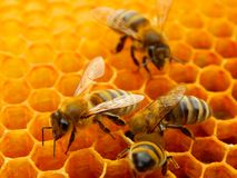 Bee on honeycombs with honey slices nectar into cells.  stock photos