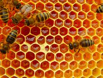 Bee on honeycombs with honey slices nectar into cells.  royalty free stock photos