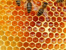 Bee on honeycombs with honey slices nectar into cells.  stock images