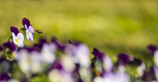 Bee hoping with magenta flower Stock Images