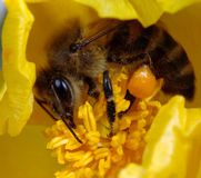 Bee on horned poppy Royalty Free Stock Images
