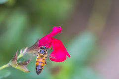 Bee hovering above flower. Bee taking nectar inflight from a red flower stock photography