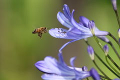 Bee hovering over flower Royalty Free Stock Photos