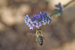 Bee Hovering By Purple Flower Stock Images