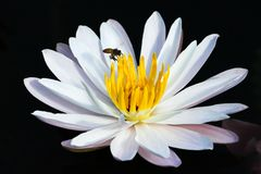 A bee hovers above a white water lily with black background. A bee hovers above a beautiful white water lily with black background Royalty Free Stock Image