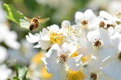 Hovering Bee White Flower Heaven royalty free stock photos