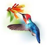 Bee Hummingbird - Mellisuga helenae. Royalty Free Stock Images