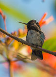 Bee Hummingbird. The Bee Hummingbird (Mellisuga helenae) is the smallest bird in the world and endemic to the Island of Cuba royalty free stock photos