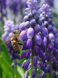 Bee on a  Hyacinth. Bee on a purple Grape Hyacinth Royalty Free Stock Images