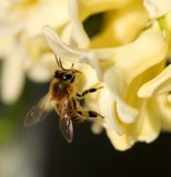 Bee on hyacinth. A bee inside a flower Royalty Free Stock Photography