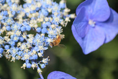 Bee on hydrangea Royalty Free Stock Photo