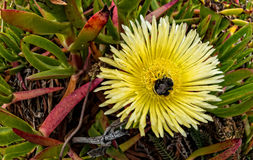 Bee in Ice Plant Stock Images