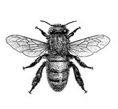 Bee illustration, engraving, drawing, ink Royalty Free Stock Photo