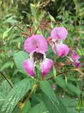 Bee in impatiens Glandulifera. Bee pollinating and hunting for nectar in Himalayan Balsam, sometimes cultivated for its flowers. It is now widely established in royalty free stock photo