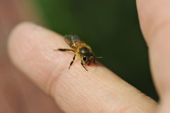 Bee In Hand Stock Image