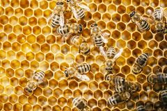 Free Bee In Honeycomb Royalty Free Stock Photos - 117453098