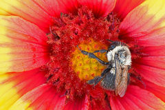 Bee on Indian Blanket Flower Royalty Free Stock Photography