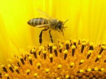 Bee on inflorescence of sunflower. Stock Photos
