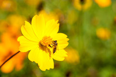 Bee insect on Beautiful flower in field. Macro. Bee insect drinking nectar from the beautiful yellow flower in field perfect sunlight. Macro royalty free stock photos